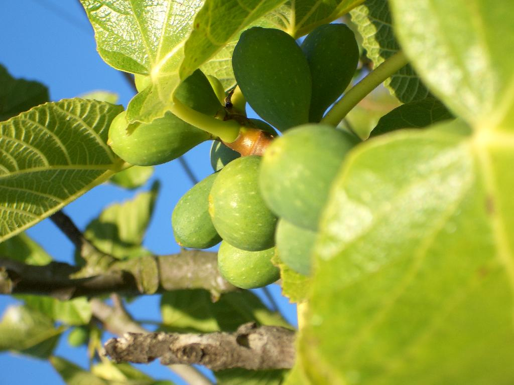 figtree